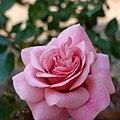 Rose,Persian Mystery,バラ,ペルシャン・ミステリー, (8144912446).jpg