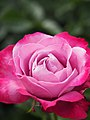 Rose, Blue River, バラ, ブルー リバー, (23238762804).jpg