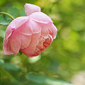Rose, The Alnwick Rose, バラ, ジ アニック ローズ, (15038389019).jpg