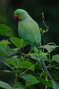 Rose-ringed Parakeet, Karkala, Karnataka, India.jpg