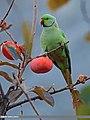 Rose-ringed Parakeet (Psittacula krameri) (23073285433).jpg