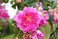 Rose Alexandre Girault 20070601.jpg