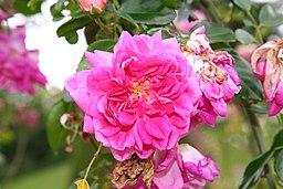 Rose Alexandre Girault 20070601