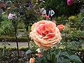 Roses au jardin du thabor a rennes - panoramio (7).jpg