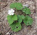 Roughfruit Raspberry- Rubus lasiococcus - Flickr - brewbooks.jpg
