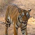 Royal Bengal Tiger Panthera tigris tigris..jpg