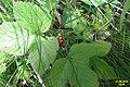 Rubus saxatilis (Heiterwanger See) (15777267106).jpg