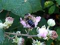 Rubus ulmifolius PolinatorCloseup SierraMadrona.jpg