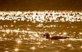 Ruddy shell duck during sunrise.jpg
