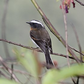 Rufous-breasted Chat-tyrant (Ochthoeca rufipectoralis).jpg