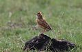 Rufous-naped Lark, Mirafra africana at Krugersdorp Nature Reserve, Gauteng, South Africa (30567929483).jpg