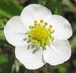Ruhland, Grenzstr. 3, Wald-Erdbeere im Garten, Blüte, Frühling, 01.jpg