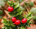 Ruscus aculeatus 'John Redmond'. Locatie, Tuinreservaat Jonkervallei 02.jpg
