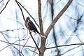 Rusty blackbird (25308281955).jpg