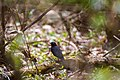 Rusty blackbird (40431681053).jpg