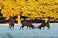 Rutting Stags in Richmond Park (5142886337).jpg