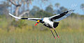Saddle-billed Stork on the wing.jpg