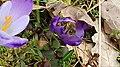 Saffron - Crocus vernus 20.jpg
