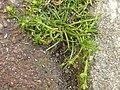 Sagina procumbens plant (17).jpg