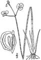 Sagittaria teres drawing.png