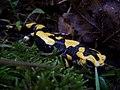 Salamandra salamandra 002.JPG