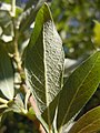 Salix bebbiana (5002371777).jpg