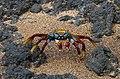 Sally Lightfoot Crab (Grapsus grapsus) (29561599075).jpg
