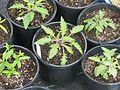 Salvia nutans x jurisicii - Flickr - peganum.jpg