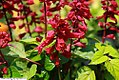 Salvia splendens Vista Red 4zz.jpg