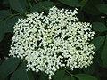 Sambucus nigra02.jpg