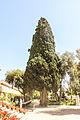 San Anton Palace, cypresses.jpg