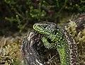 San lizard - Zandhagedis - Lacerta agilis.jpg