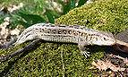 Sand Lizard 2008 G1.jpg