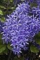 Sandpiper Purple Vine-2 (6302138080).jpg
