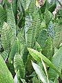 Sanseveria zeylanica hahnii0.jpg
