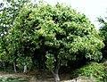 Sapindus saponaria var. saponaria (4822272461).jpg