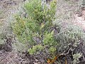 Sarcobatus vermiculatus (4017951997).jpg