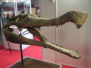 Sarcosuchus imperator skull.jpg