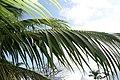 Satakentia liukiuensis 4zz.jpg