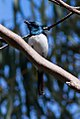 Satin Flycatcher (Myiagra cyanoleuca) (8079689479).jpg