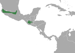 Saussures shrew species of mammal