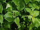Saussurea costus (7838353692).jpg