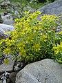 Saxifraga aizoides L. (7477261834).jpg