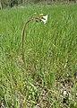 Saxifraga granulata kz01.jpg