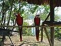 Scarlet Macaw (Ara macao) -two on perch-4.jpg