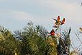 Scarlet macaws in flight.JPG