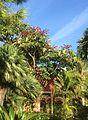 Schefflera actinophylla Rub.jpg