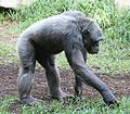 Schimpanse Pan troglodytes Tierpark Hellabrunn-11.jpg