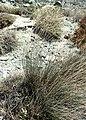 Schoenus nigricans kz08.jpg