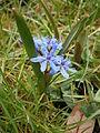 Scilla bifolia007.jpg